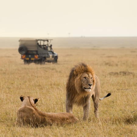 케냐의 아프리카 사자 부부와 사파리 스톡 콘텐츠