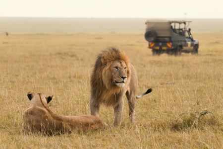 African lions and safari in the Masai Mara photo