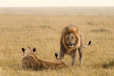 African lion couple in the Masai Mara photo