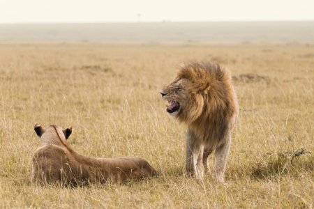 African lion couple in Kenya photo