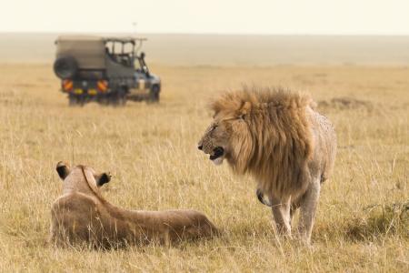케냐에서 아프리카 사자 사파리