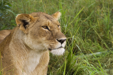 Lioness in the Masai Mara National Reserve photo