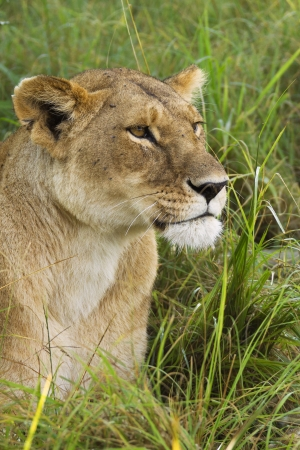 African lioness in the grass photo