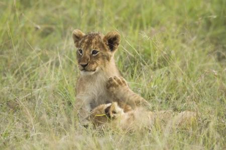 African lion cubs in the Masai Mara photo