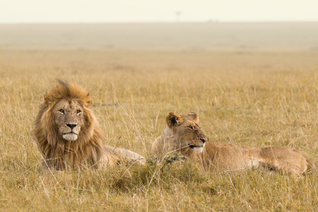 African lion couple in the Masai Mara in Kenya