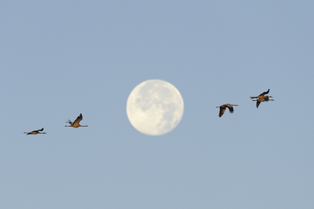 Common cranes flying in front of the full moon  photo