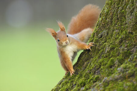 red squirrel: Red squirrel on a tree trunk