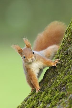 나무 줄기에 붉은 다람쥐 스톡 콘텐츠