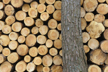 Close-up of a tree trunk in front of stacked logs photo