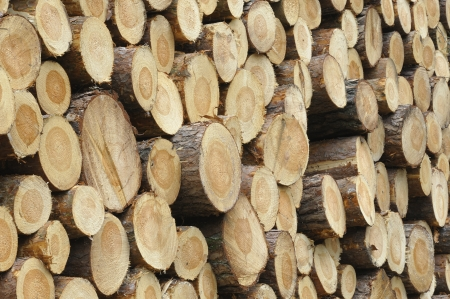 Close-up of a log pile of spruce trees photo