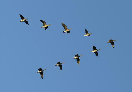gansos: Bandada de gansos que emigran de frijol volando en formaci�n en V