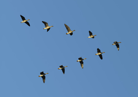 Flock of migrating bean geese flying in v-formation Stock Photo