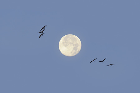 Common cranes in flight with full moon in the background photo