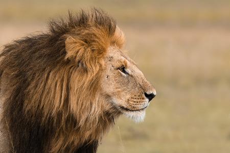 head of lion: Portrait of a big male lion in Kenya