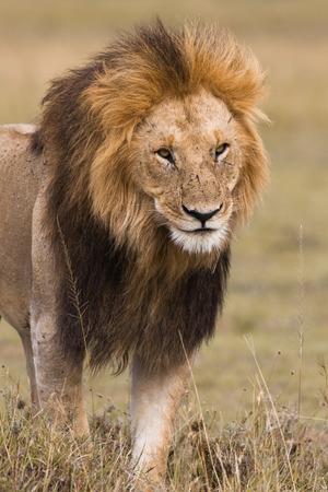 Portrait of a big male lion in Kenya photo