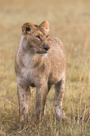 Lioness in the savanna of the Masai Mara photo