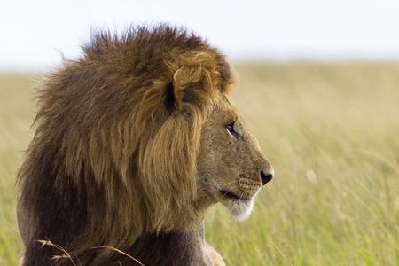 Portrait of a big male lion in Kenya