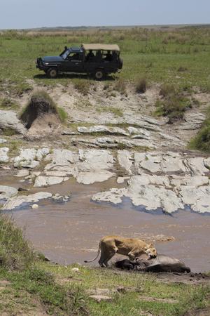 Tourists on safari watching lioness with kill photo
