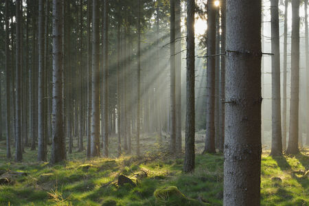 Sunbeams in Natural Spruce Forest photo