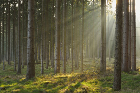 Sunbeams in Natural Spruce Forest Standard-Bild