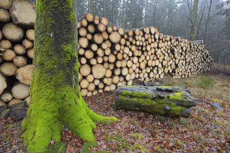 Stacked logs in a forest photo
