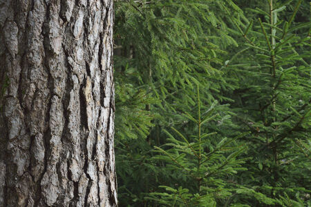 Close-up of spruce trees photo