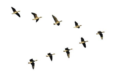 bandada pajaros: Bandada de gansos que emigran de frijol volando en formación en V