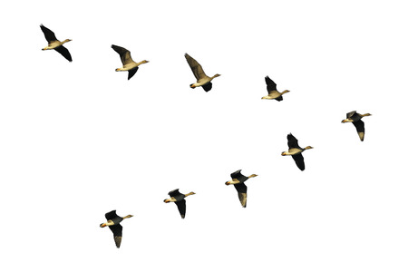 migrating animal: Flock of migrating bean geese flying in v-formation
