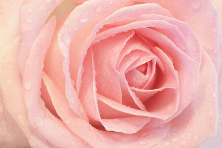 Close up of a pink rose with dew photo