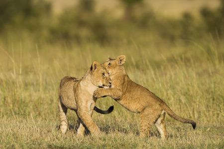 maasai mara: Cuccioli di leone africani che giocano, Masai Mara, Kenya Archivio Fotografico
