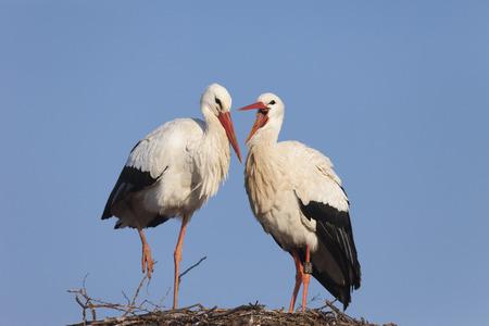 White Storks On Their nest Reklamní fotografie - 33031420