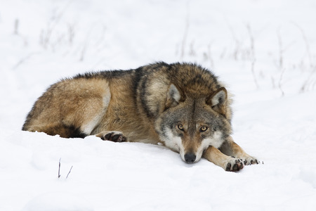 gray wolf: Wolf resting in the snow