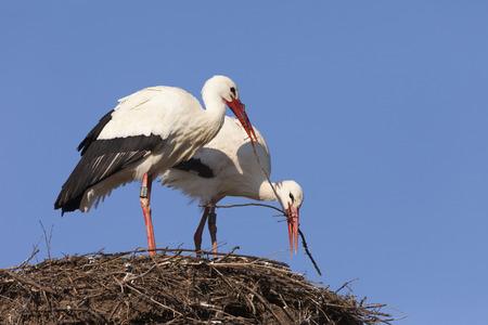 White Storks building their nest