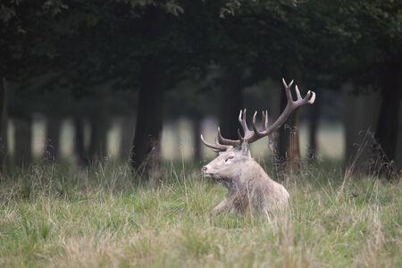 cervus elaphus: Red deer (Cervus elaphus) resting in the forest