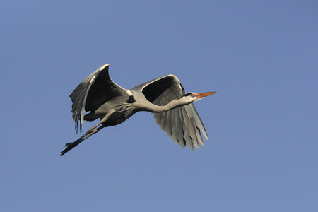 ardea cinerea: Grey heron (Ardea cinerea) flying