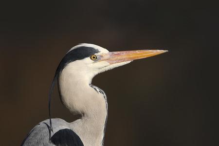 ardea cinerea: Grey heron portrait (Ardea cinerea)