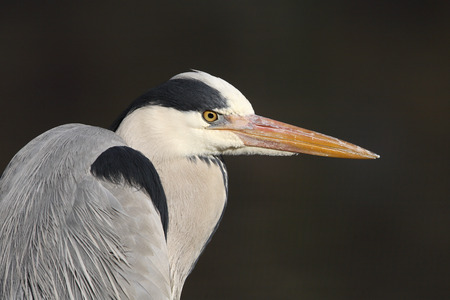 gray herons: Grey heron portrait (Ardea cinerea)