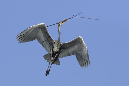 cinerea: Grey heron (Ardea cinerea) flying