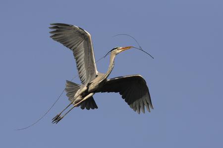 cinerea: Grey heron (Ardea cinerea) flying
