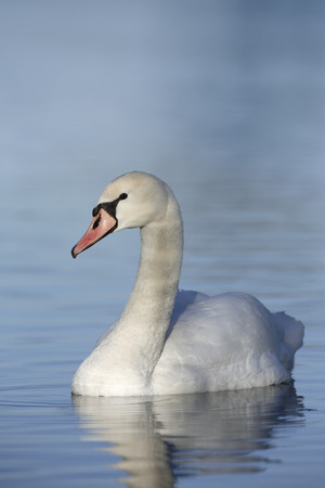 mute swan: Mute swan swimming on a lake