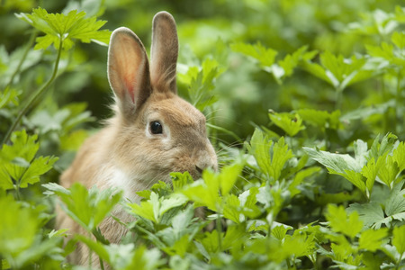 leporidae: Rabbit in the grass