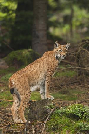 lince: Lince europeo en el bosque