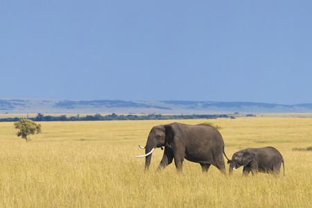 Afrikaanse olifant met kalf Stockfoto
