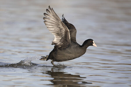 coot: European coot running on water