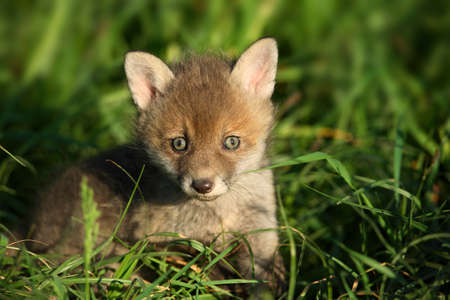 close p: Red fox cub in the grass Stock Photo