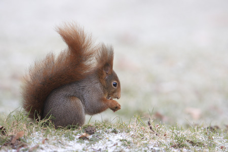 red squirrel: Red squirrel with hazelnut in the snow