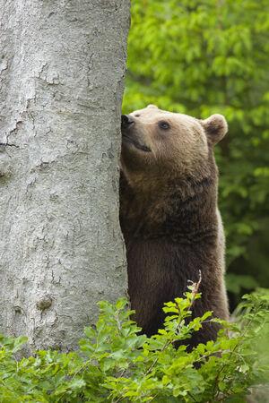 arctos: Brown bear, Ursus arctos