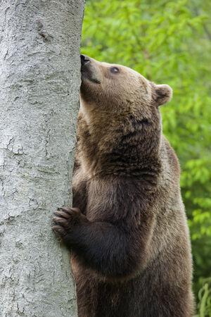arctos: Orso bruno, Ursus arctos