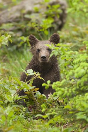 arctos: Brown bear cub, Ursus arctos