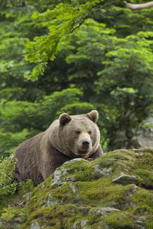 ursus: Brown bear, Ursus arctos